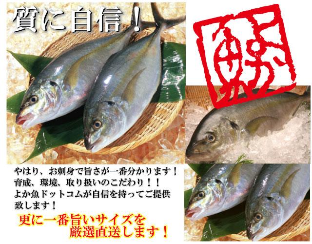 シマアジ しまあじ 鯵 アジ あじ 鮮魚 センギョ せんぎょ